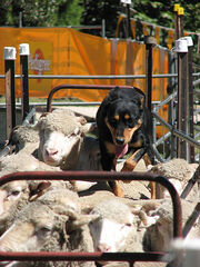 450px-Backing sheep at sheepdog competition