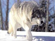 Canis lupus 265b