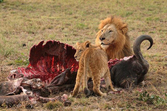 File:Male Lion and Cub Chitwa South Africa Luca Galuzzi 2004.jpg