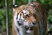 800px-Tiger-zoologie.de0001 22