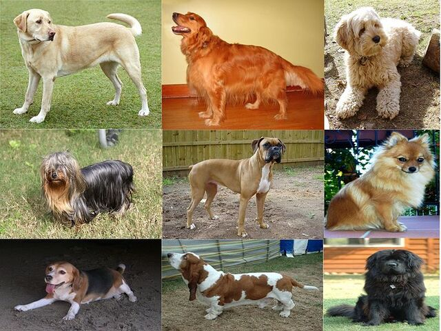 File:Collage of Nine Dogs.jpg