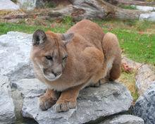 Cougar 25