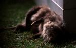 Scruffles the Possom Dead