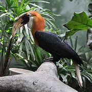 220px-Rhyticeros plicatus -Lincoln Park Zoo-8a-3c
