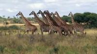 S04xE03 Giraffes