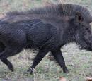 Rhino Pig