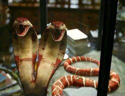 Cobra de duas cabeças