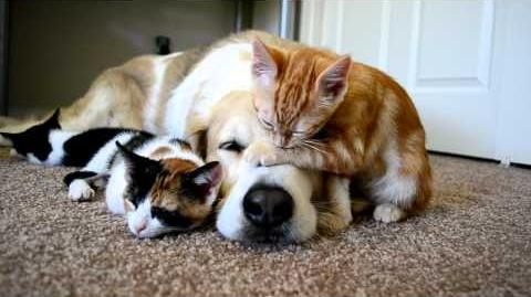 Video 34 CUTENESS OVERLOAD!! A dog sleeping with his KITTENS