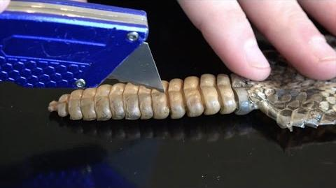 What's inside a Rattlesnake Rattle?
