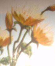 Chrysanthe-poppies