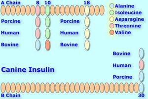 Canineinsulin
