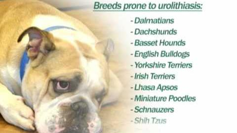 Canine Urinary Problems
