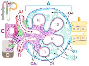 500px-Renal corpuscle svg