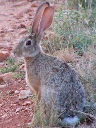 Hare animagus