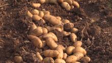 Monthball Potatoes