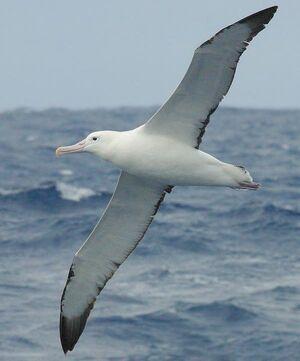 BirdSongs Royal Albatross