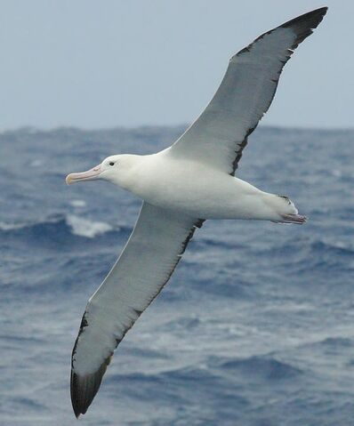 File:BirdSongs Royal Albatross.jpg