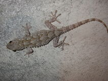 Common Gecko