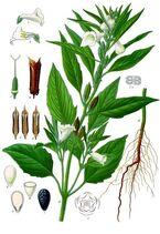 Sesamum indicum - Köhler–s Medizinal-Pflanzen-129