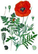 Papaver rhoeas - Köhler–s Medizinal-Pflanzen-101