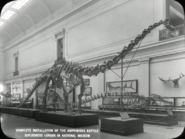 1923 Expedition to Utah the Diplodocus 2