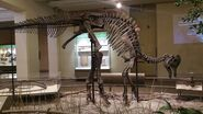 Carnegie Corythosaurus