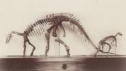 Camptosaurus (USNM 4282)