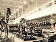 Carnegiebrontosaurus