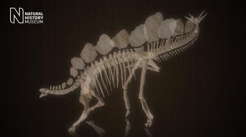 Secrets of the Stegosaurus skeleton Natural History Museum