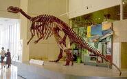Muttaburrasaurus-Dinosaur-skeleton