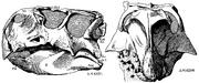 Psittacosaurus skull lateral