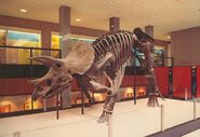 Triceratops1-700x482