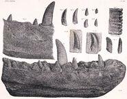Megalosaurus dentary