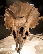 Triceratops skull frills