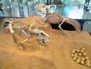 Protoceratops andrewsi - AMNH - DSC06314