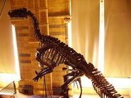 Iguanodon skeleton NHM
