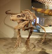 Herrerasaurus front (Field museum)