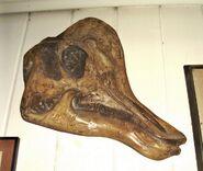Corythosaurus-skull1-1000x8451-700x591