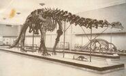 Apatosaurus-skeleton-700x422