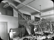 1923 Expedition to Utah the Diplodocus