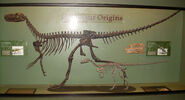 Herrerasaurus ischigualastensis skeleton, Eoraptor lunensis skeleton, Plateosaurus skull