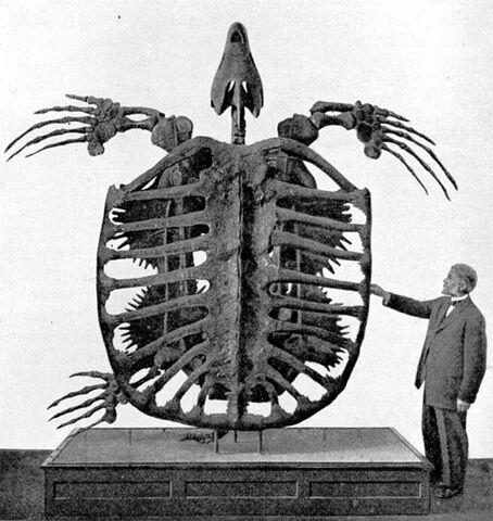 File:567px-Archelon skeleton.jpg