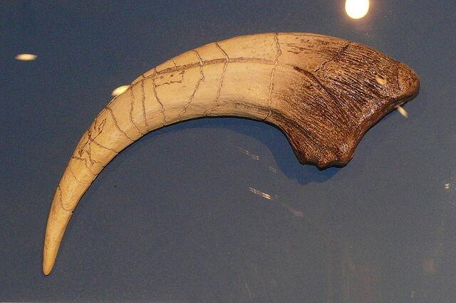 File:800px-Megaraptor-Kralle.jpg