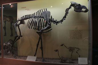 Giant camel