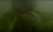 Paramblypterus1