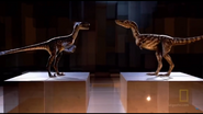 Dakotaraptor and young T-rex