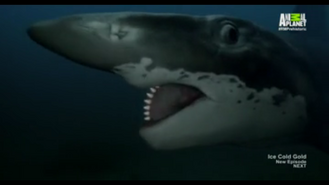 Helicoprion 1