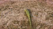 Palaeosaniwa