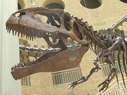 Giganotosaurus skull 2122