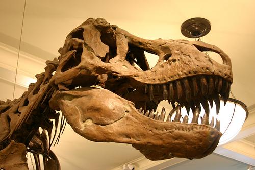 File:Tyrannosaurus skull.jpg